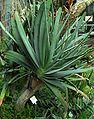 SDC11434 - Aloe plicatilis.JPG