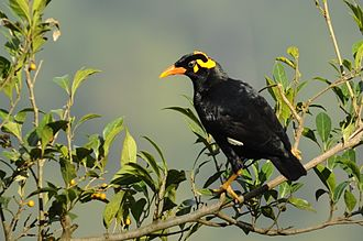 Wattle (anatomy) - Southern Hill Myna in India showing yellow wattles on the head