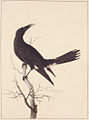 SLNSW 797170 f 30 WhiteVented Crow.jpg