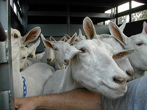 Saanen goats in trailer 2003.JPG