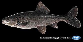 Sacramento blackfish - Image: Sacramento blackfish