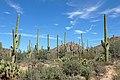 Saguaro 04.jpg