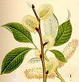 Salix caprea sälg.jpg
