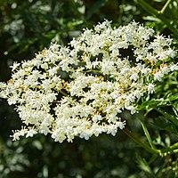 Sambucus nigra-IMG 0922.jpg