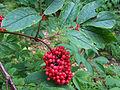 Sambucus racemosa a1.jpg