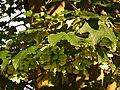 Samen und Blätter Ahorn Richen 2014.JPG