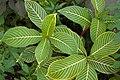 Sanchezia speciosa Leaves 3000px.JPG