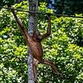 Sandakan Sabah Sepilok-Orangutan-Rehabilitation-Centre-08.jpg