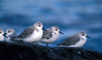 Adak Island - Sanderlings
