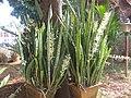 Sansevieria Trifasciata - സർപ്പപ്പോള 02.jpg