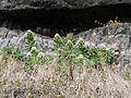 Santiago-Echium hypertropicum (3).jpg