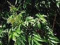 Sapindus saponaria var. saponaria (4832491784).jpg