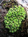 Saxifraga bryoides, Schynige Platte.jpg