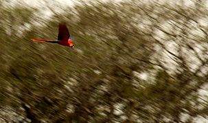 Sc Macaw.jpg