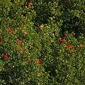 Scarlet Ibises (5535359753).jpg