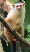 Female Schneider's marmoset