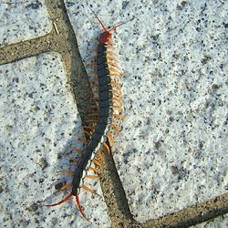 Scolopendra subspinipes mutilans.jpg