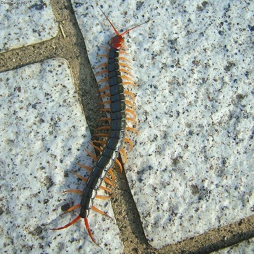 Scolopendra subspinipes mutilans