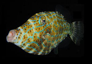 English: Scrawled Filefish