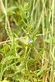 Scutellaria.galericulata2.-.lindsey.jpg