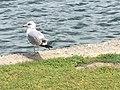Seagull of Santa Ana,CA.jpg