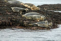 Seals on Rocks Eilean a' Chàr Summer Isles - geograph.org.uk - 659554.jpg