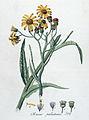 Senecio paludosus — Flora Batava — Volume v4.jpg