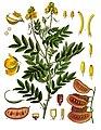 Senna alexandrina - Köhler–s Medizinal-Pflanzen-031.jpg