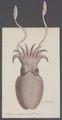 Sepia vulgaris - - Print - Iconographia Zoologica - Special Collections University of Amsterdam - UBAINV0274 090 07 0004.tif