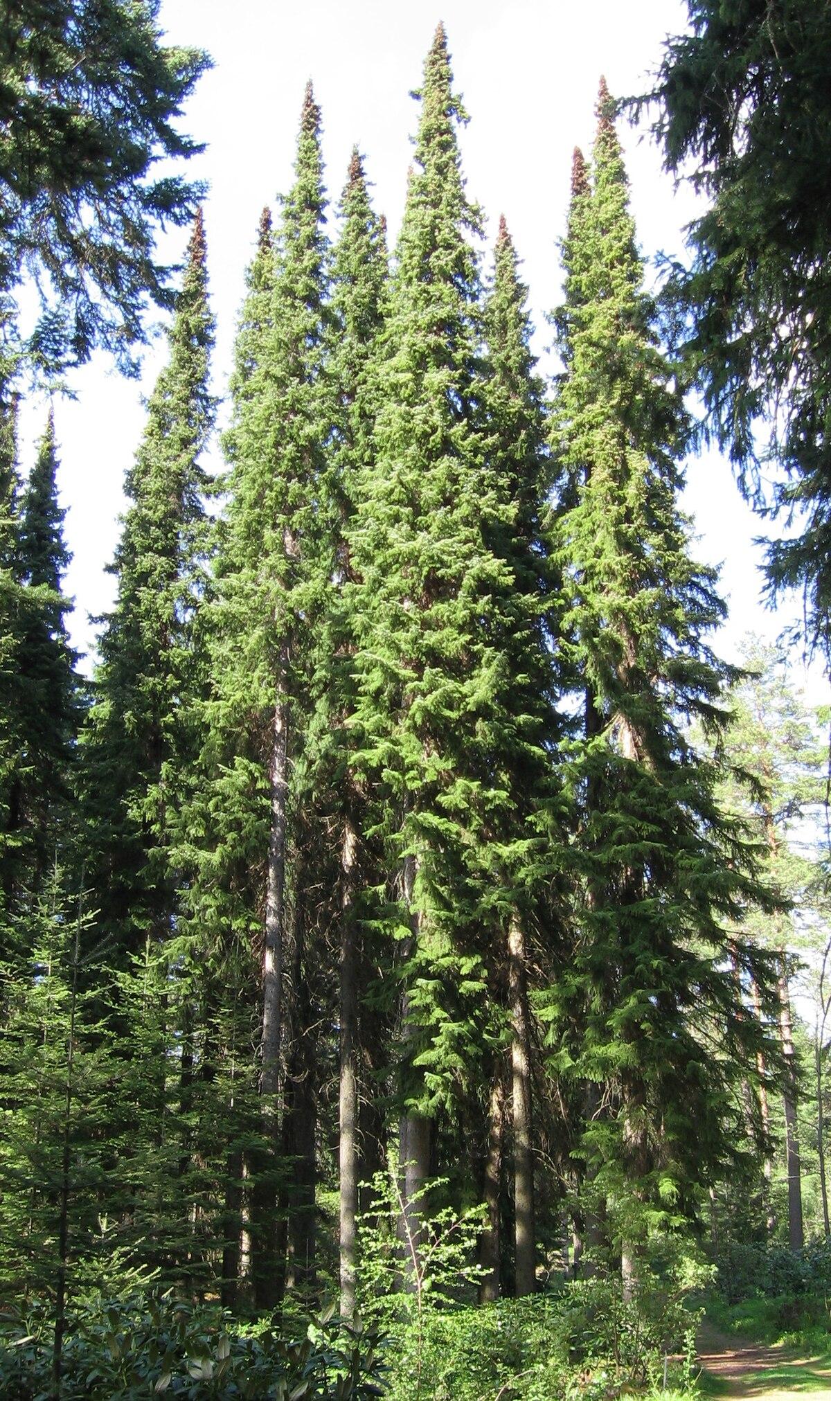 Serbische Fichte (Picea omorika)
