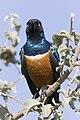 Serengeti-Dreifarben-Glanzstar2.jpg