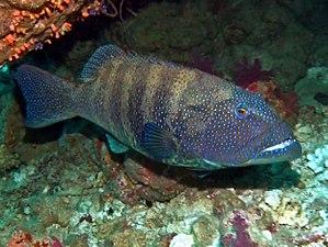 Roving coralgrouper - Image: Serranidae Plectropomus pessuliferus marisburi