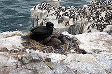 Shag with two chicks in the nest, Inner Farne - geograph.org.uk - 1379375.jpg