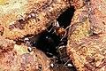 Shattuck 53813, Crematogaster modiglianii and Camponotus rufifemur parabiosis, Danum Valley, Sabah-web (5042353719) (2).jpg