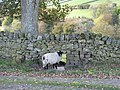 Sheephole - and sheep - geograph.org.uk - 590783.jpg