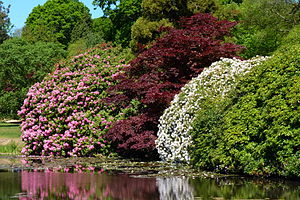 Sheffield Park Garden - Rhododendron in Sheffield Park Garden