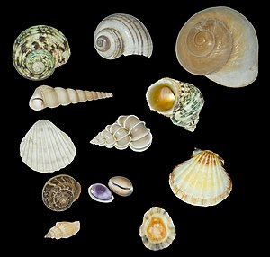 Mollusc shell - Variety of Mollusc shells (gastropods, snails and seashells).