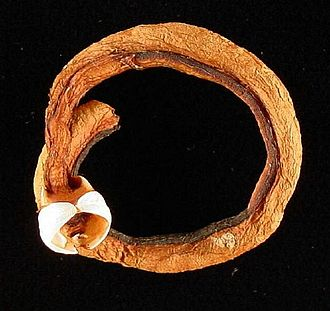 Shipworms - This dried specimen of Teredo navalis was extracted from the wood and the calcareous tunnel that originally surrounded it and curled into a circle artificially. The two valves of the shell are the white structures at the anterior end; they are used to dig the tunnel in the wood.