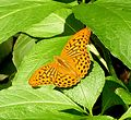 Silver-Washed Fritillary. Argynnis paphia. Male - Flickr - gailhampshire.jpg