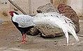 Silver Pheasant 2.jpg