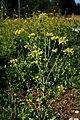 Sinapis arvensis ENBLA02.jpg