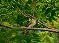 Siva muharica (Muscicapa striata) Spotted Flycatcher.jpg