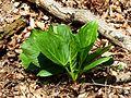 Skunk Cabbage - Flickr - treegrow (4).jpg