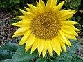 Slunečnice4.jpg