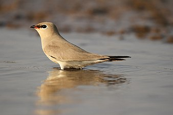 Small pratincole David Raju.jpg