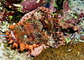 Smallscale scorpionfish, Scorpaenopsis oxycephala - or at least I think so. Beautiful, neh? (6163712106).jpg