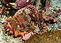 Smallscale scorpionfish, Scorpaenopsis oxycephala - or at least I think so. Beautiful, neh? (6163712106).jpg