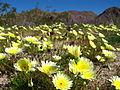 Smooth desert dandelion (Malacothrix glabrata); Bajada.jpg