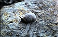 Snail on North Gare Breakwater - geograph.org.uk - 852714.jpg