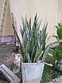 Snake plant or Mother in law's tongue plant.jpg